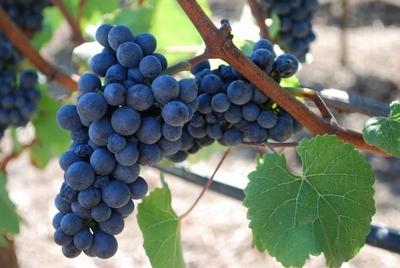 Vinova loza - Pinot noir P9  kom