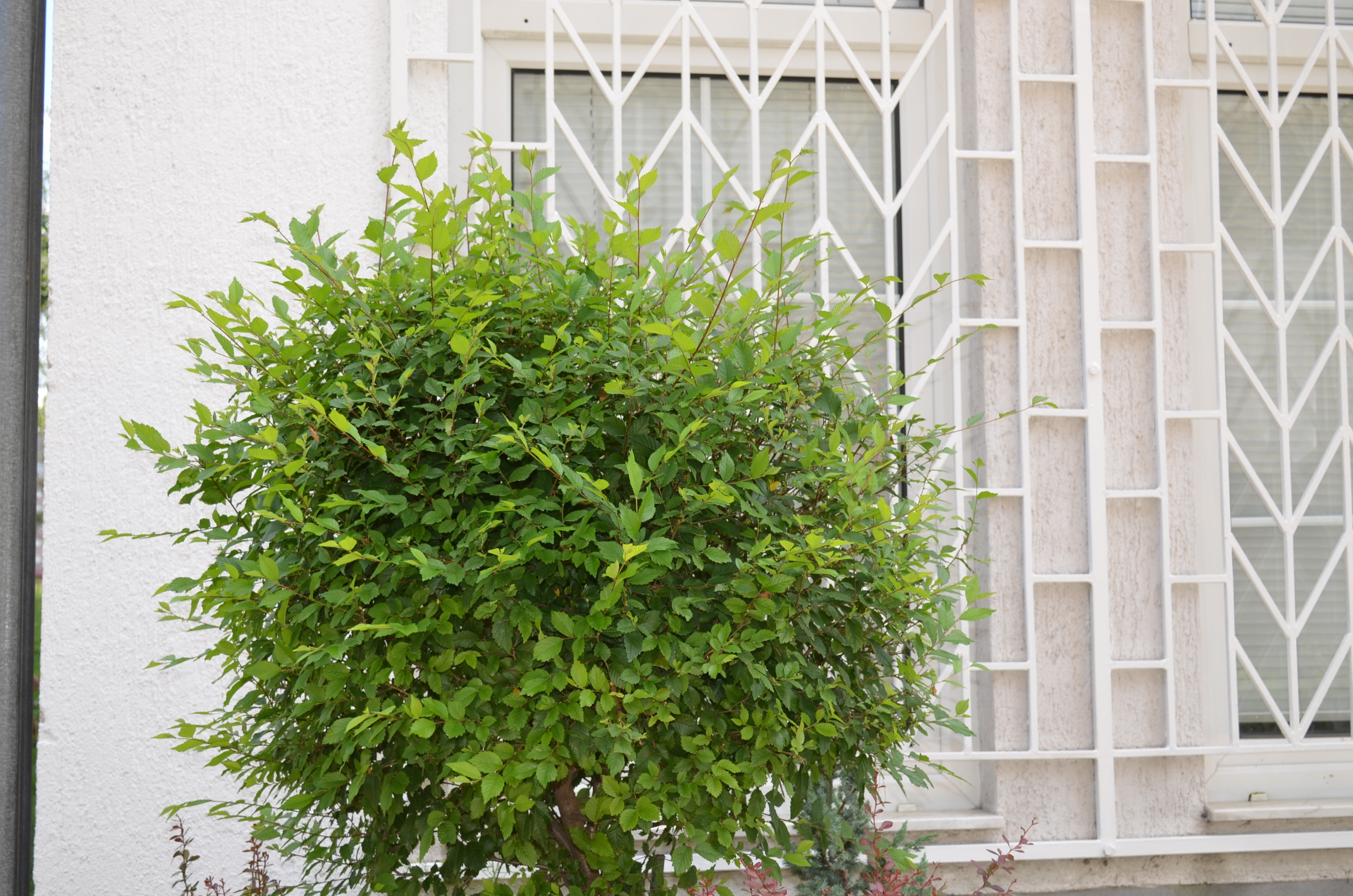 Magična živa ograda - Ulmus Pumila  kom